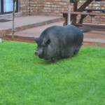 Pig in the garden | Vertel Van My Guest House | Kathu Accommodation