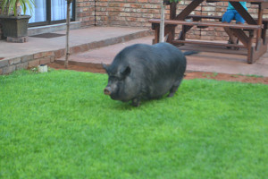 Kathu Accommodation | Pig in the garden | Vertel Van My Guest House